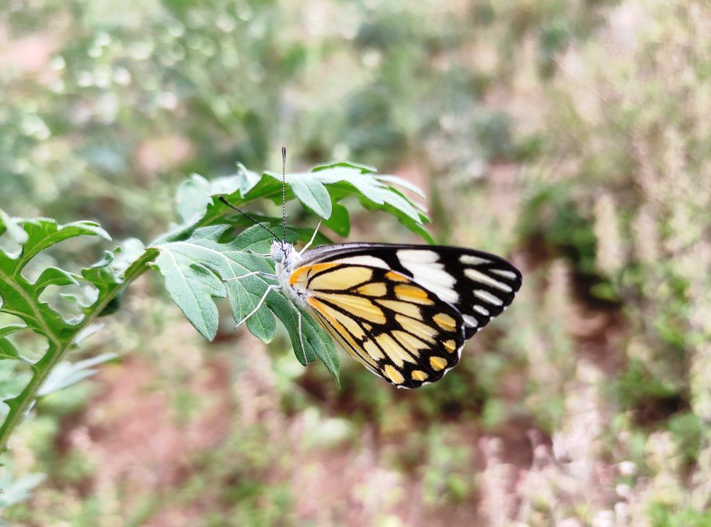 Garden butterflies
